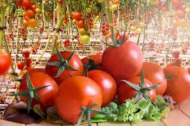 How To Grow Hydroponic Tomatoes Green And Vibrant