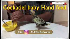 Cockatiel Chart Baby Cockatiel Growth Chart Hand Feeding Part 1
