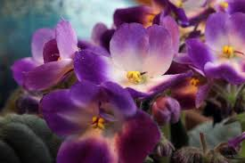 african violets care and feeding