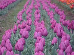Image result for tulip garden srinagar
