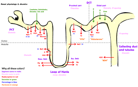 Physiology Of The Kidneys Boundless Anatomy And Physiology