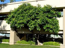 common rubber tree rubber plant family moraceae origin india and malaysia