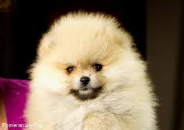 How Old Is Your Pomeranian
