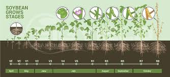 Soybean Growth Stages Plant Science Like I Love You