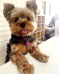 yorkie poo haircuts for all