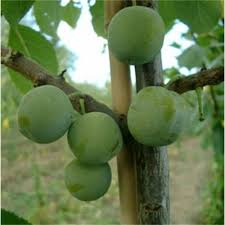Small Fruit Crops For The Backyard  University Of Illinois ExtensionPlum Fruit Tree Varieties