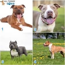 Pitbull Dog Years Chart Pitbull Breeds Types Of Pitbulls A List Of Every Pitbull
