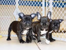 frenchie puppies dogs for in mesa english bulldogs and french bulldogs breeder phoenix tucson arizona