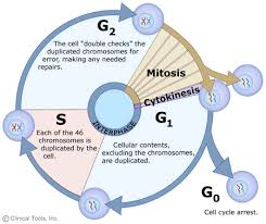 The Cell Cycle Mitosis And Meiosis University Of Leicester