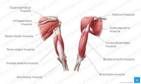It consists of 3 parts: Triceps Brachii Muscle Attachments Supply And Functions Kenhub
