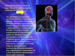 Презентация по окружающему миру на тему Нервная система класс  слайда 4 Вместе спинной и головной мозг образуют центральную нервную систему От центр