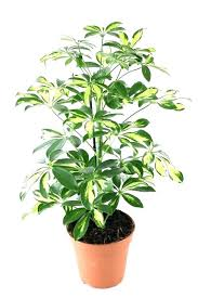 house plants big indoor plants big plants indoor tall house plants best large indoor plants house plants