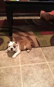 1 900 english bulldog puppy sierra vista 9 week old female puppy ready to go forever home es with the second set of shots dewormer