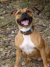 american bulldog pitbull boxer mix. Plain American Backyard Breeders Do NOT Pay Attention To The Behavior Of Dog So You  May See More Fear Or Aggression In A Backyardbred Pit Bull On American Bulldog Pitbull Boxer Mix O