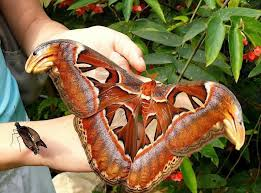 big pictures of butterflies. Wonderful Butterflies Bigbutterfly With Big Pictures Of Butterflies E
