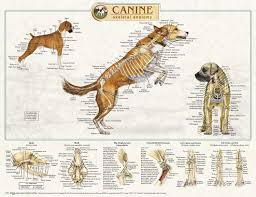 Canine Trigger Point Chart Anatomical Chart Company Canine Anatomical Posters K9 Massage Co Uk