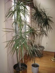 formidable tall plant tall plant pots tall house large size tall plant tall plant pots uk
