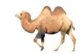 Bildergebnis für kamel