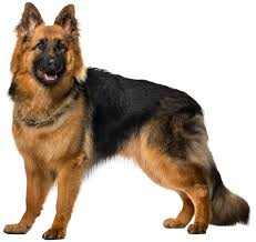 Image result for german shepherd clipart free
