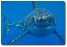 pictures of great white sharks eating people.  Pictures Great White Shark In Pictures Of Sharks Eating People