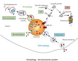 Endomembrane System Flow Chart Cell Death Dr Rajiv Desai