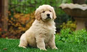 English Golden Retriever Weight Chart Golden Retriever Puppy For Sale How Much They Cost And Why