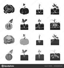 スイカ大根ニンジンポテト植物は黒白黒スタイル ベクトル