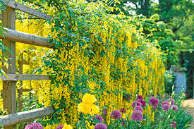 Climbing Plants For Walls And Fences  Plants For A Purpose Wall Climbing Plants For Shade