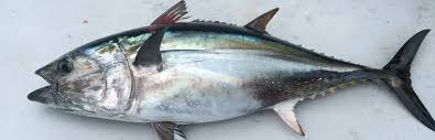 Tuna Fish Size Chart Pacific Bluefin Tuna Stock Assessment Frequently Asked