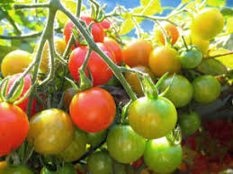 How To Ripen Tomatoes On The Vine Harvest To Table