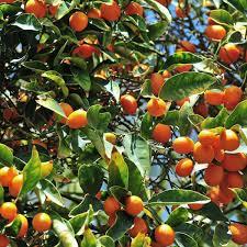 Amazoncom  12 Year Old Nagami Kumquat Tree In Groweru0027s Pot Kumquat Tree Not Bearing Fruit