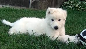 white husky mix puppy. Modren White Lab Husky Mix Throughout White Husky Mix Puppy A