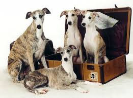 whippet poetry with puppies