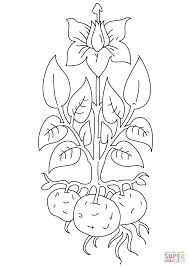 Potato Plant coloring page | Free Printable Coloring Pages