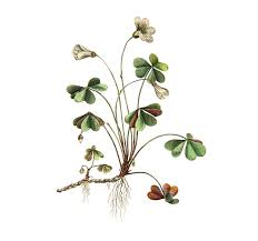 Billedresultat for oxalis