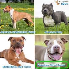 Types Of Pitbulls Chart Blue Nose Pitbull The Complete Dog Breed Guide All Things