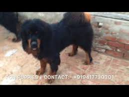 Tibetan Mastiff Male And Female Dogs 919417730301
