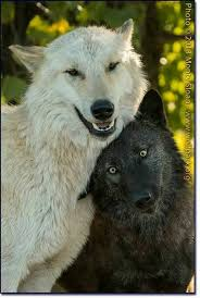 black wolf and white wolf love. Contemporary White The White Wolf Looks Drunk Off His Ass And The Black Is Like Wtf Am In Black Wolf And White Love T