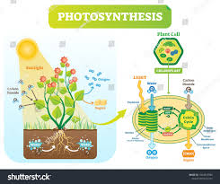 Cannabis Light Cycle Chart Photosynthesis Biological Vector Illustration Diagram With