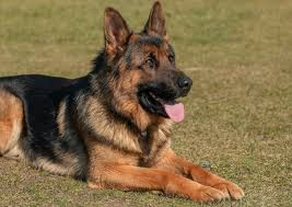 German Shepherd Exercise Chart Shiloh Shepherd The Complete Guide For This Giant Breed