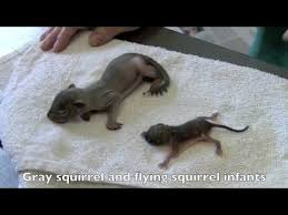 Grey Squirrel Age Chart A Few Interesting Facts About Flying Squirrels Mnn