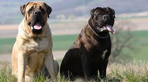The English Mastiff Vs The Bullmastiff How Are They Different