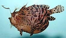 Anglerfish Wikipedia