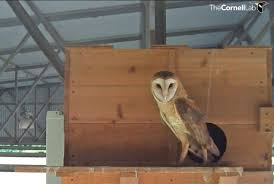 dottie the female barn owl at the texas nest box that was featured on bird cams from 2016 to 2016