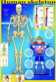 Human Skeleton Wall Chart Laminated Educational Poster Your Skeleton Human Body Key Bones Educational Teaching Poster Wall Chart