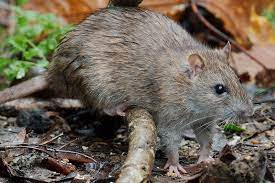 rats in the garden without poison