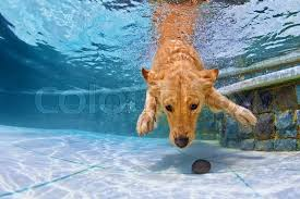 golden retriever puppies swimming. Brilliant Retriever Playful Golden Retriever Puppy In Swimming Pool Has Fun  Jumping And  Diving Deep Down Underwater To Retrieve Stone Training Active Games With Family  Throughout Golden Retriever Puppies Swimming M