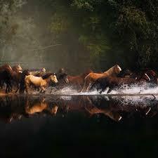 wild horses running through water