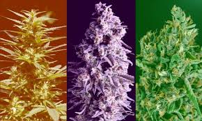 Image result for indica heads