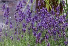 Levandule | Zahradnictví Dvořák Teplice